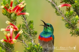 Male Southern Doublecollared Sunbird singing away at Kirstenbosch Gardens