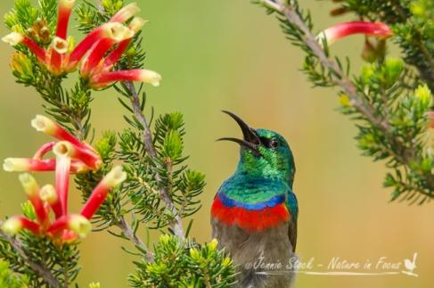 Male Southern Doublecollared Sunbird singing away at Kirstenbosch Gardens