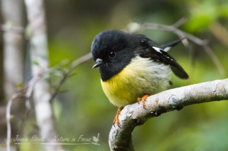 The very cute Tomtit seen on Stewart Island