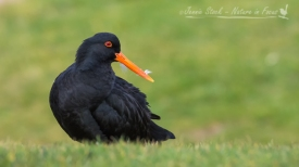 Variable Oystercatcher (black morph) in New Zealand