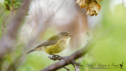 Australia's smallest bird, the Weebill