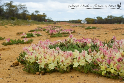 Wreath Leschenaultia (Lechenaultia macrantha) on the sides of a country road near Mullewa in Western Australia