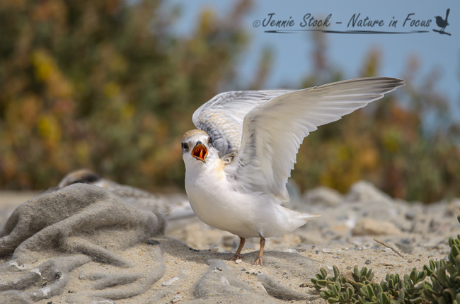 Juvenile Fairy Tern at Rous Head - used in Birdlife magazine