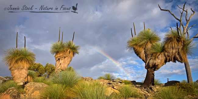 Grass trees in the evening sun with a rainbow, near York, WA
