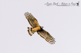 Oriental Honey-buzzard - a rare vagrant from Indonesia - used in Birdlife Australia magazine