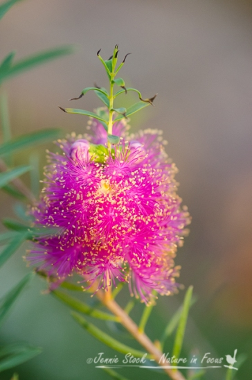 Pink Melaleuca from the front garden