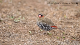 Red-eared Firetail in Bridgetown
