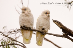 A pair of Western Corellas in Dalwallinu, a town in the WA wheatbelt
