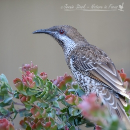 A Western Wattlebird pauses in its feeding in Perth's northern suburbs