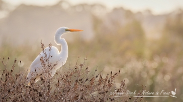 Backlit Great Egret