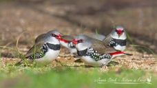 Diamond Firetails at Monarto