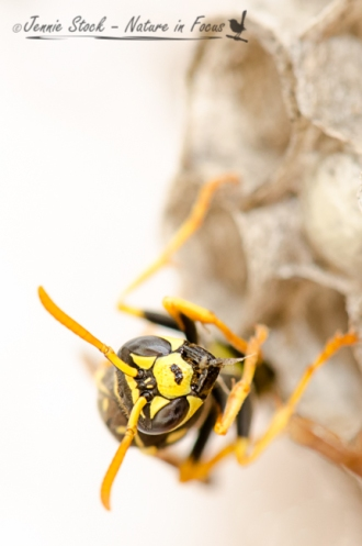 Eastern Paper Wasp (Polistes humilis) on its nest