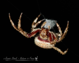 Garden Orb Weaver at night