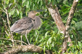 Great-Billed Heron calling