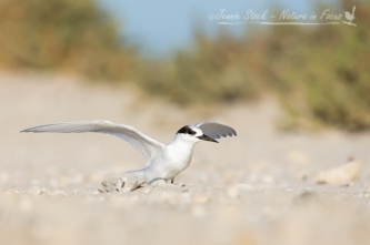 An Immature Fairy Tern stretching its wings