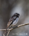 Male Hooded Robin