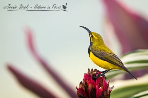 Male Olive-Backed Sunbird