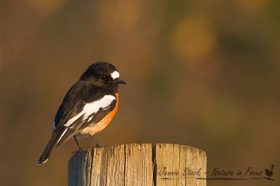 Male Scarlet Robin