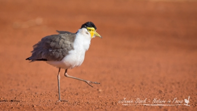 Masked Lapwing at Pardoo Station