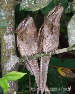 Papuan Frogmouths on the Daintree