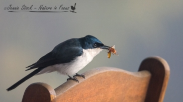 Restless Flycatcher dining alfresco