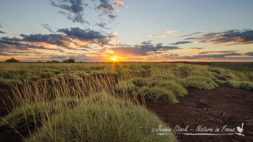 Spinifex at sunset at Millstream