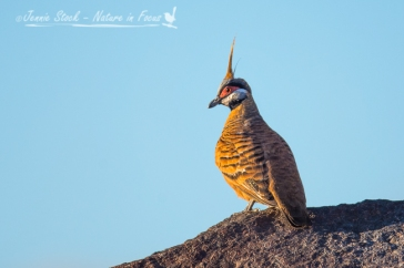 Spinifex Pigeon near Karratha