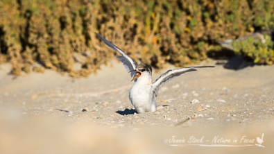 Young Fairy Tern being demanding