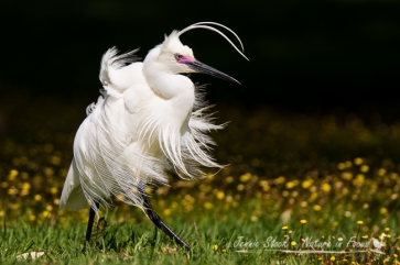 Windblown Egret