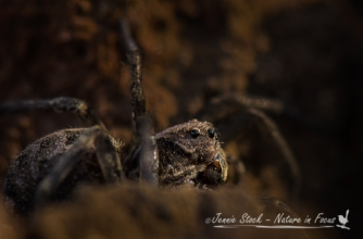 Wolf Spider in the dirt pile