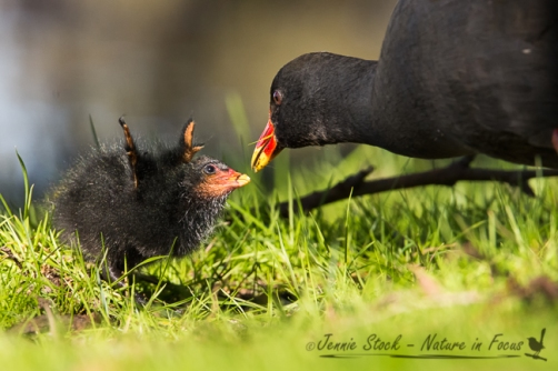 Dusky Moorhen chick waving its 'wings' while being fed