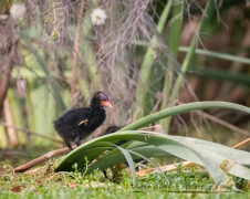 Young Dusky Moorhen being adventurous