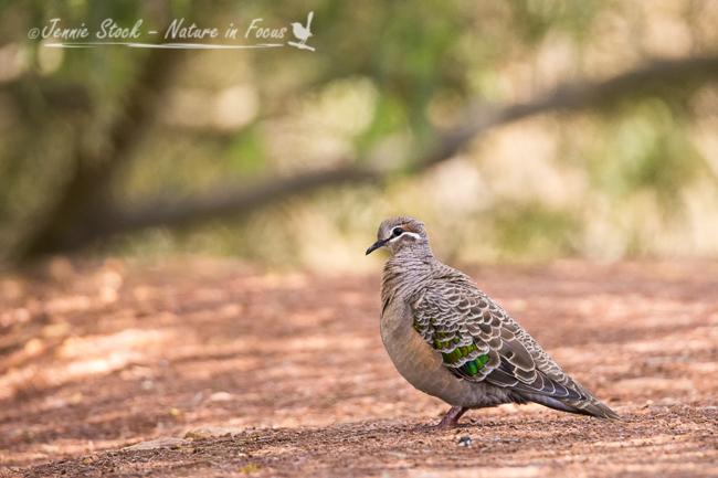 An immature Common Bronzewing in Bridgetown