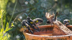 New Holland Honeyeaters hogging the bird bath