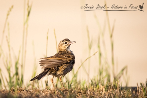 Australasian Pipit drying off