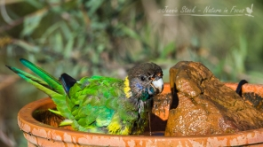 Ringneck enjoying a bath