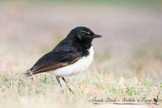 Willie Wagtail missing all its tail feathers