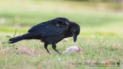 Young Raven with what I suspect is a Willie Wagtail nest