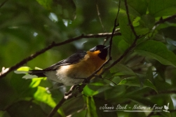 Spectacled Monarch - best shot I could manage!