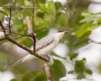 Whie-bellied Cuckoo-shrike