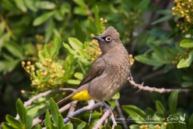 Cape Bulbul in the Pepper Tree