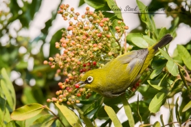 Cape White-eye on the pepper tree