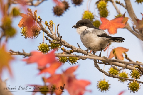 Common Fiscal (Fiscal Shrike) on the liquidamber
