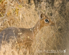 Damara Dik-dik peeking through the shrubbery