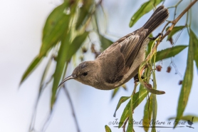 Female Southern Double-collared Sunbird