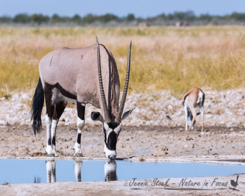 Gemsbok at artificial waterhole