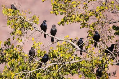 Red-winged Starlings - grey-headed ones are the females