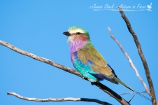 The beautiful Lilac-breasted Roller