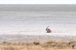 Solitary Gemsbok on the Etosha Pan