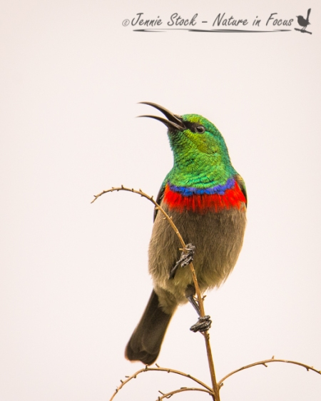 Spectacular male Southern Double-collared Sunbird in full song